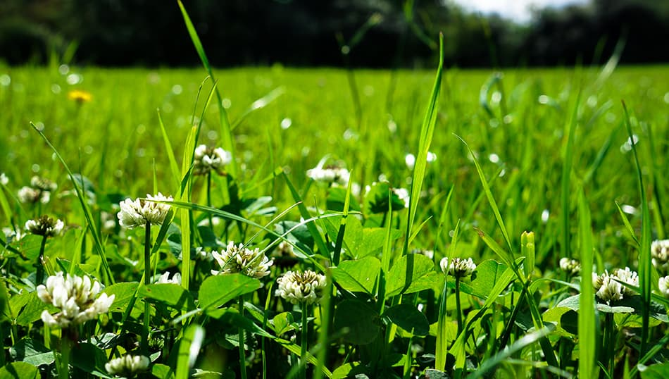 White Clover (alternative to lawn)